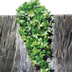 Rastlina do terária TerraPlanta Congo Efeu - 40 cm