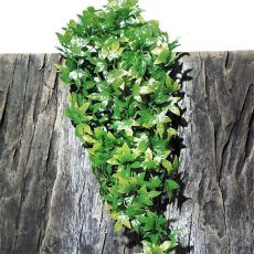 Rastlina do terária  TerraPlanta Congo Efeu - 50cm