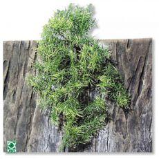 Rastlina do terária TerraPlanta Casuarina - 50 cm