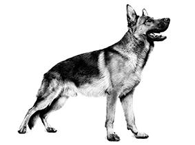 Dospelí psi Royal Canin